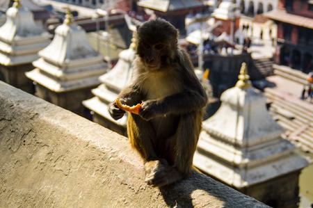 Rhesus monkey in Pashupatinath Temple in Kathmandu, Nepal
