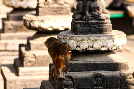 Rhesus monkey at Pashupatinath Temple in Kathmandu, Nepal Stock Photo