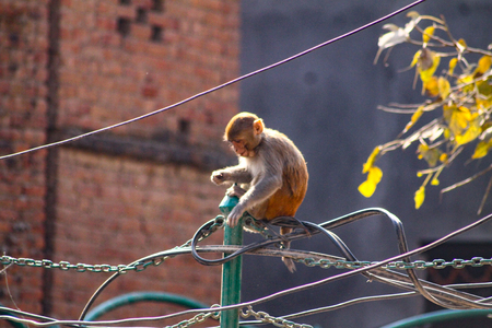 Rhesus monkeys also live in the capital of Nepal and use power lines as bridges between buildings