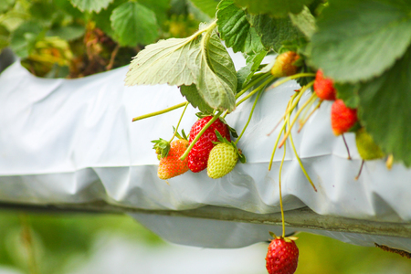 Strawberries to pick yourself in a greenhouse