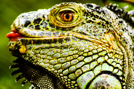 The head of a green iguana