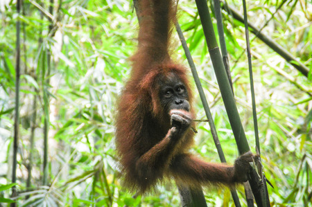 An orangutan jugnes that moves freely in the jungle Stock Photo