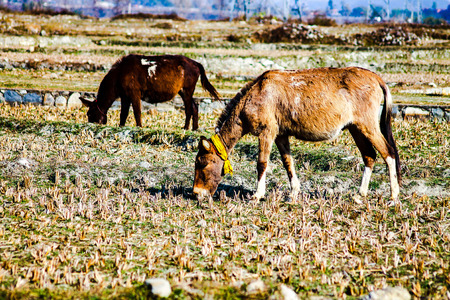 grazing work animals used to transport goods in the Himalayas 스톡 콘텐츠