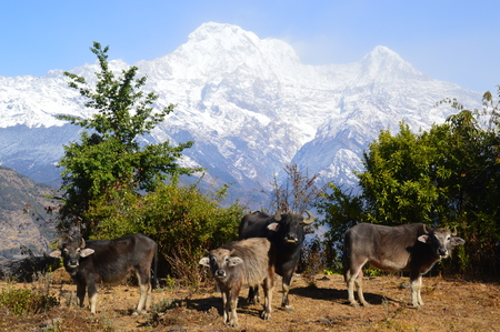 A couple of cattle with a snowy mountain chain landscape in the background