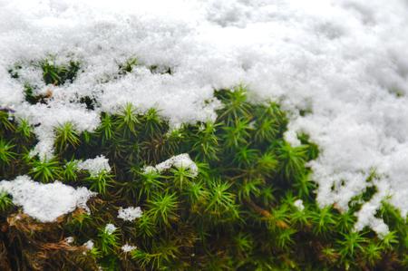 Contrast tussen groen en wit van mos en sneeuw Stockfoto - 97804906