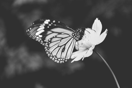 A monochrome of a butterfly in side view on a blossom Stock Photo