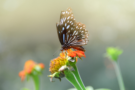 A black blue butterfly on an orange flower