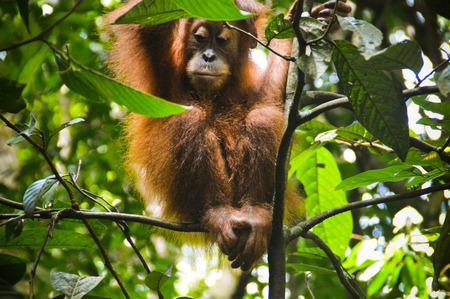 A young orangutan enjoys the freedom of the jungle