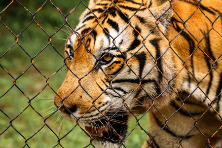 An Indochinese Tiger in captivity Stock Photo