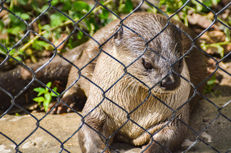 A captive otter in a zoo Stock Photo