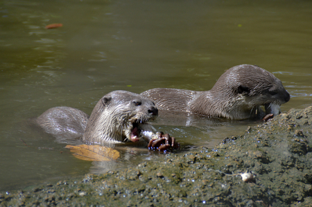 Two otters devouring their prey
