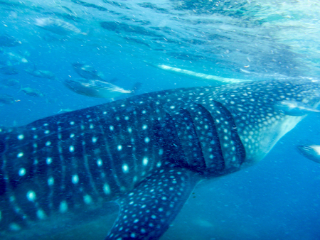 Side view and close-up of a young whale shark Stock Photo