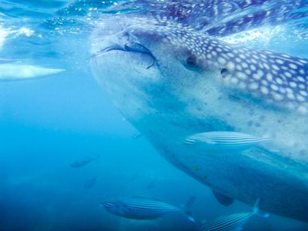 A closeup of a whale shark Stock Photo
