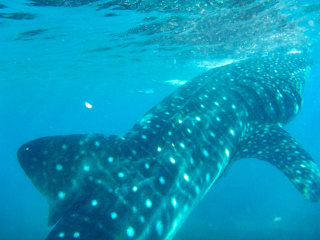 A young whale shark just below the surface of the water