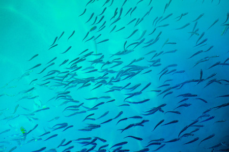 Top view of a school of fish swims just below the water surface