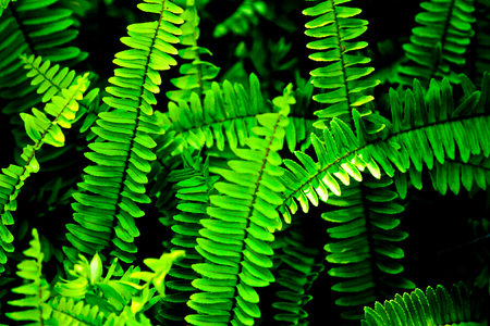 Wild-growing fern on the forest floor. Fern is one of the oldest plants on earth.