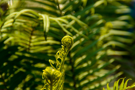 A closeup of a young boy taking off to unroll his leaves. Fern is one of the oldest plants on earth. Stock Photo