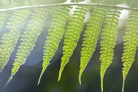 Sunlight shining through a fern leaf. Fern is one of the oldest plants on earth.