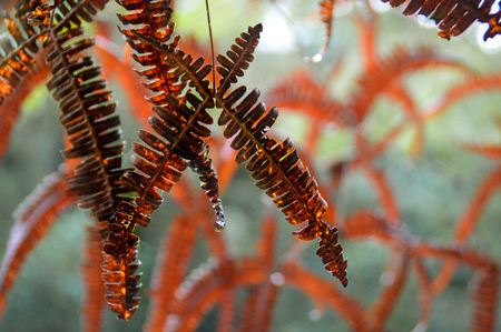 Red Ferns Grow Over Cross. Summer in a tropical rainforest in Cameron Highlands, Malaysia. Fern is one of the oldest plants on earth.