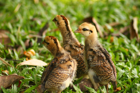 Three young chickens are exploring the environment together
