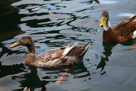 Two mallards can be drifted on the calm water