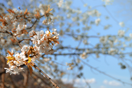 A cherry tree with its beautiful white flowers on a sunny spring day