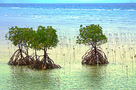 The coast of the Philippines with their young mangrove trees, with blue clear sea view