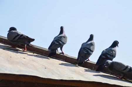 Doves on a tin roof with blue sky with their backs facing.