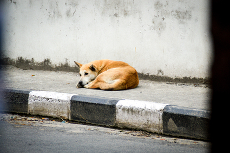 You can see street dogs everywhere in Kathmandu. The city is overcrowded with dogs that have been abandoned 版權商用圖片