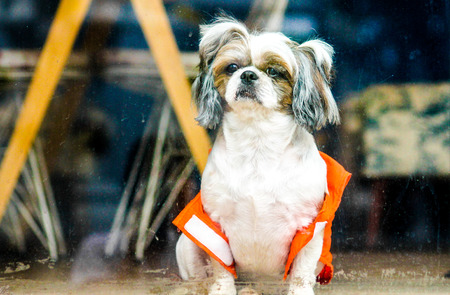 A small watch dog with an orange safety vest behind a windowpane