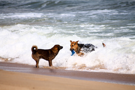 Two dogs play together on the white sand beach in Vietnam