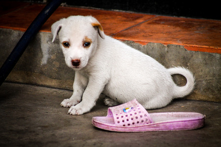 A small cute puppy standing next to a slipper