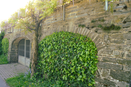 House wall built with slate and covered with ivy and other climbing plants, spring time.