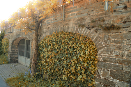 House wall built with slate and covered with ivy and other climbing plants, autumn time.