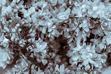Close-up and monochrome of the blooms hydrangea garden