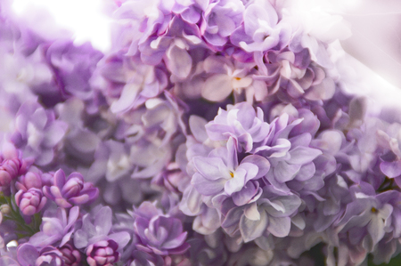 Close-up of the blooms of a pink and purple colored hydrangea garden