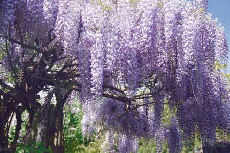 A wisteria tree, also called blue rain, is beautiful purple in the bloom Stok Fotoğraf