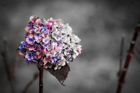 Close-up of the blooms of a blue, pink, white and purple hydrangea