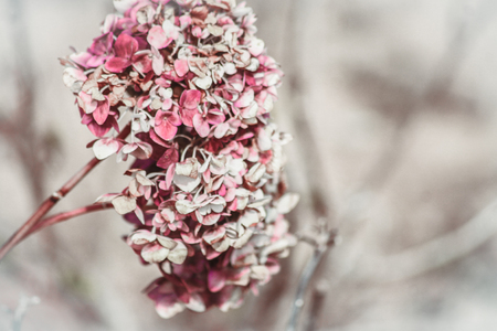 Close-up of the blooms of a pink and white colored hydrangea garden