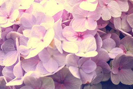 Close-up of the blooms of a purple and pink colored hydrangea garden