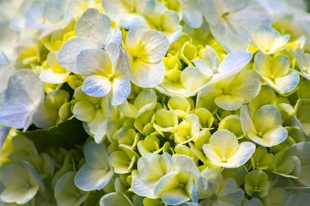 Close-up of the blooms of a yellow and white colored garden hydrangea Stok Fotoğraf