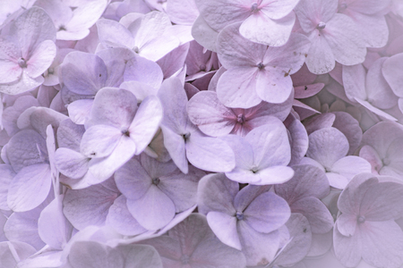 Close-up of the blooms of a pink and purple colored garden hydrangea