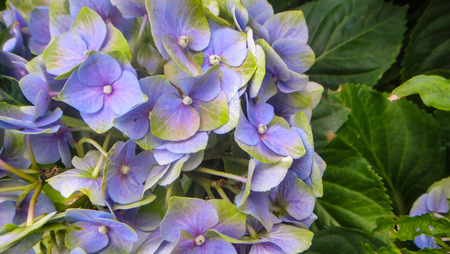 Close-up of the blooms of a pink hydrangea and purple colored garden Stok Fotoğraf
