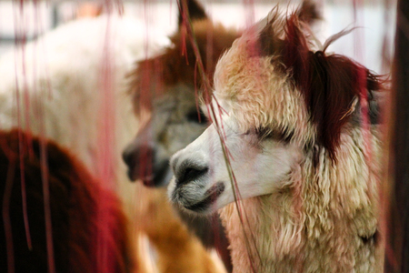 A llama stands in front of a fan to cool off from the hot summer days