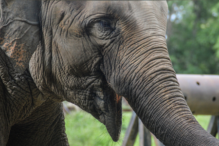 Asian elephant in a natural park in Cambodia