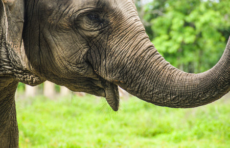 Side view of a face on elephant cow, Asian elephant in a natural park in Cambodia Stok Fotoğraf