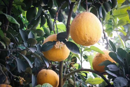 Ripe pomelos ready for harvest from the orchard Stok Fotoğraf