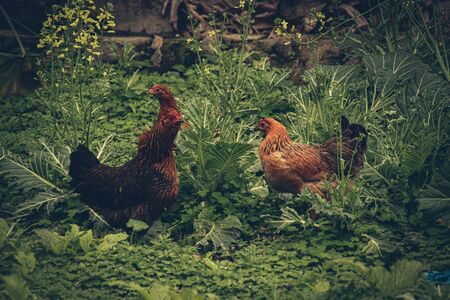 Free roaming native chickens in Ha giang, Vietnam that shows the village life, livelihood and culture