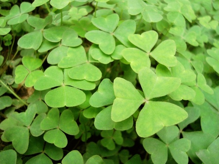 A closeup of a field of clovers