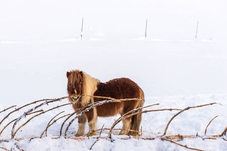 A pony standing on the snow next to a bitten coniferous tree. In the background visible posts from the paddock fence.